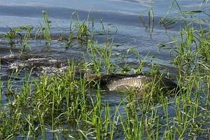 Кіровоградрибоохорона просить громадян повідомляти про факти задухи риби