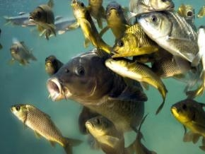 До уваги суб'єктів аквакультури!
